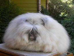 Закупка пуха ангорского кролика