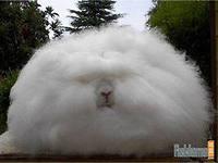 Срочно купим пух ангорского кролика