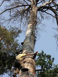 Валка больших деревьев