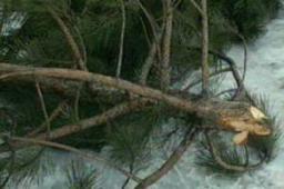 Вырубка елок