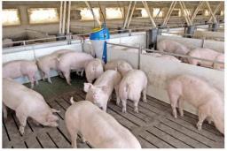 Свиньи живым весом.