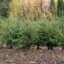 Саженцы, ель сибирская, 180-220 см.