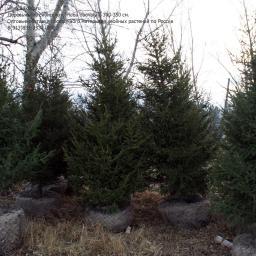 Деревья, ель сибирская (крупномер), 300-350 см.