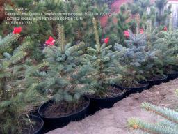 Саженцы, ель голубая колючая (Picea pungens), 50-70 см.