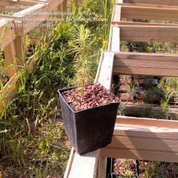 Саженцы, лиственница сибирская, 10-15 см.