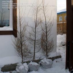 Саженцы, лиственница сибирская, 180-220 см.