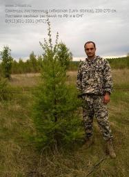 Саженцы, лиственница сибирская, 230-270 см.