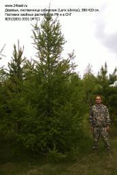 Деревья (крупномер), лиственница сибирская, 380-420 см.