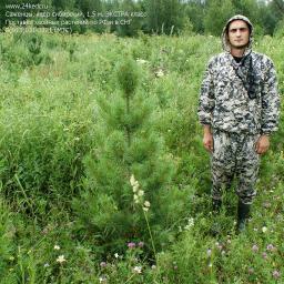Саженцы, кедр сибирский, ЭКСТРА класс, 130-170 см.