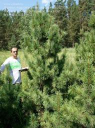 Деревья (крупномер), кедр сибирский, стандарт, 280-320 см.