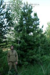 Деревья (крупномер), кедр сибирский, стандарт, 480-520 см.