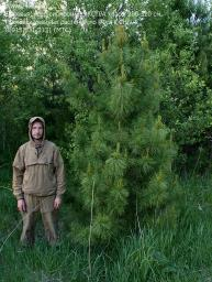 Деревья (крупномер), кедр сибирский, ЭКСТРА класс, 280-320 см.