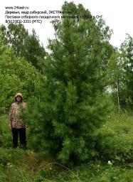 Деревья (крупномер), кедр сибирский, ЭКСТРА класс, 380-420 см.