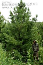 Деревья (крупномер), кедр сибирский, ЭКСТРА класс, 480-520 см.