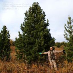 Деревья, кедр сибирский, МОГУЧИЙ (крупномер), 600-700 см.