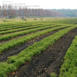 Сеянцы, сосна обыкновенная, 10-15 см.