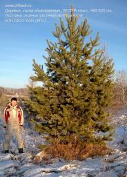 Деревья (крупномер), сосна обыкновенная, ЭКСТРА класс, 480-520 см.