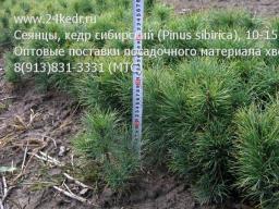 Сеянцы, кедр сибирский, 10-15 см.