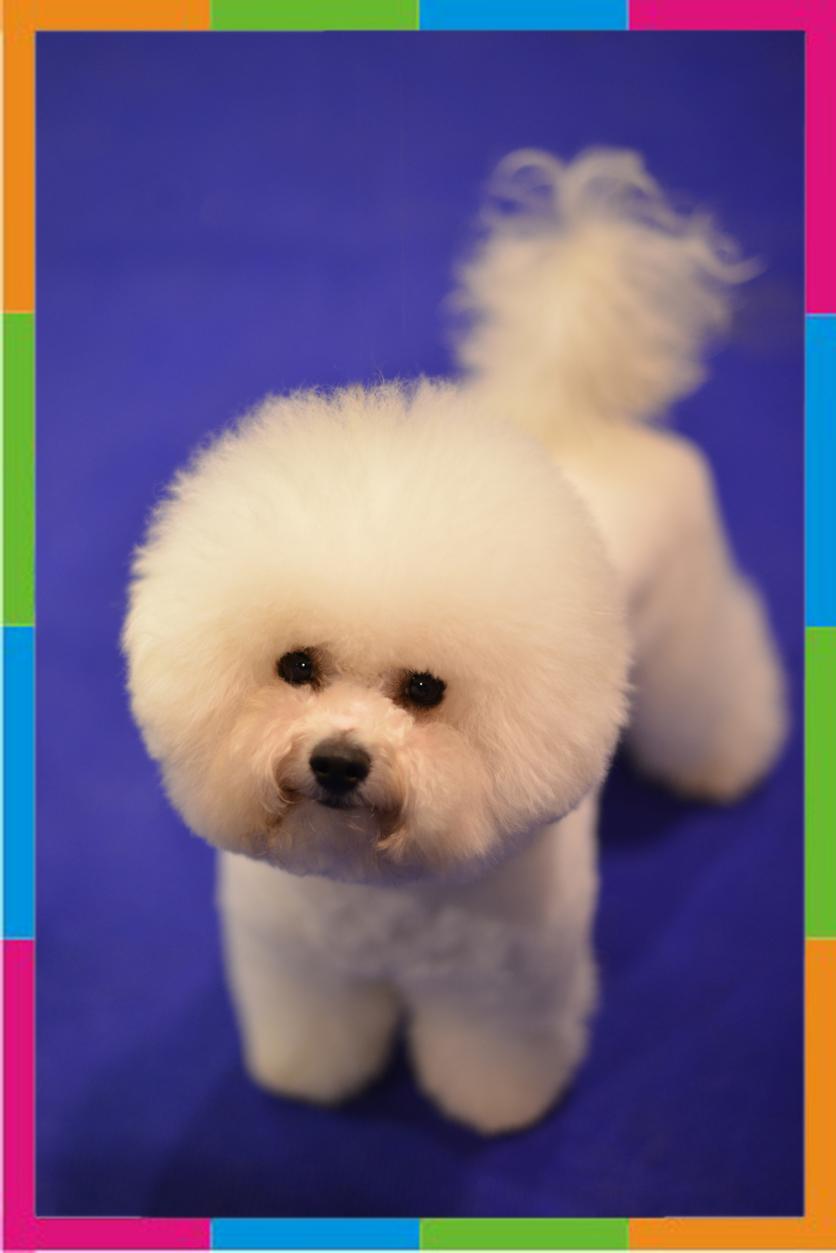 Стрижка собак (бишон фризе фото) .
