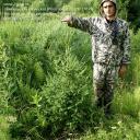 Саженцы, ель сибирская, 130-170 см.