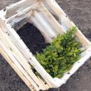 Сеянцы, ель сибирская, 15-20 см.