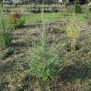 Саженцы, лиственница сибирская, 70-120 см.