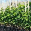 Саженцы малины садовой оптом от производителя РБ.