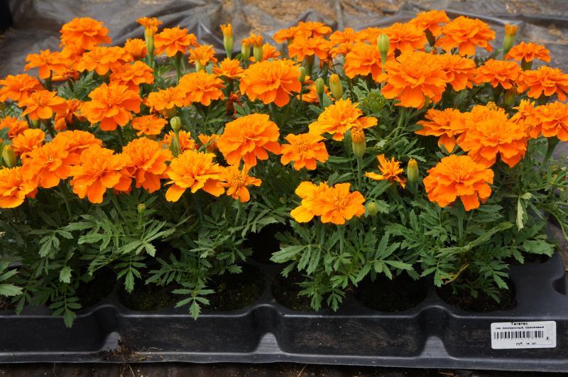 Высочайшее качество саженцев однолетников, клубней и луковиц цветов.