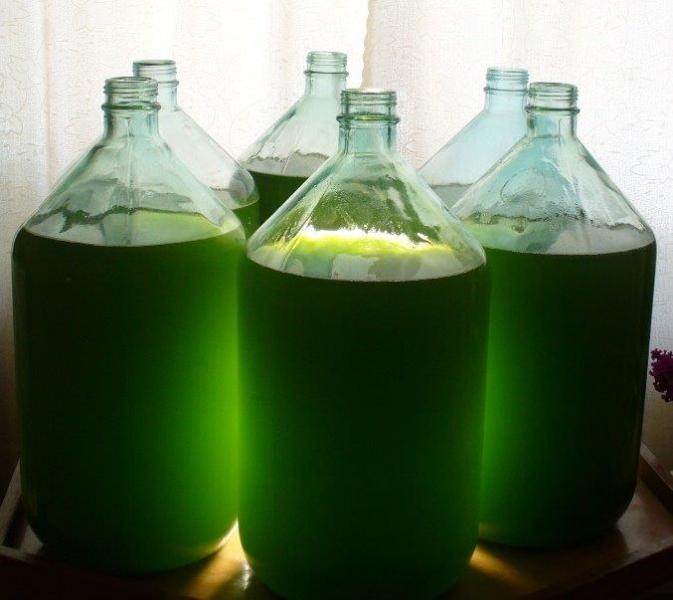 Выращивание хлореллы в домашних условиях в банке 31