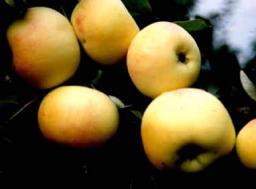 Яблоня, сорт