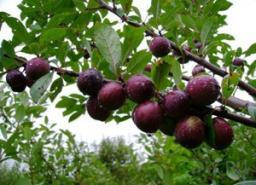 Сливо-вишневые гибриды, сорт