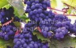 Виноград, сорт