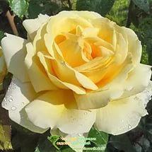 Роза, сорт