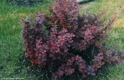 Барбарис темно-пурпурный
