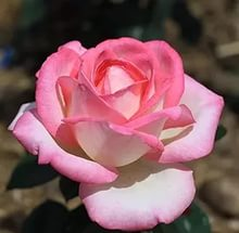Роза,сорт