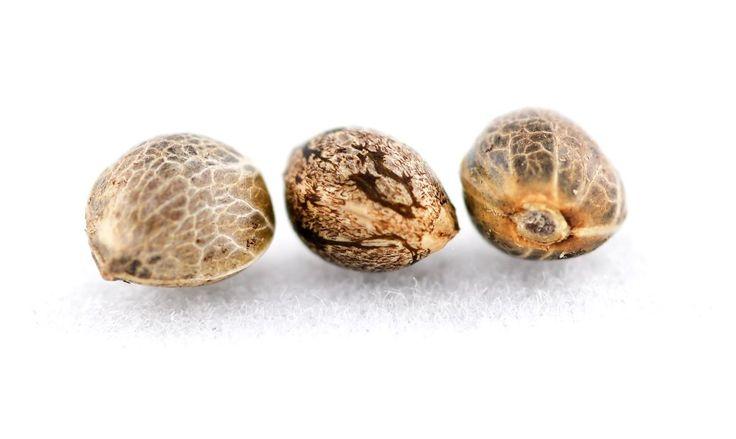 Доставка семян конопли по россии с запахом конопли